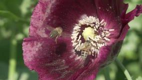 蜂收集在庭院鸦片慢动作股票英尺长度录影的花蜜 股票录像