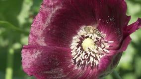 蜂收集在庭院鸦片慢动作股票英尺长度录影的花蜜 影视素材