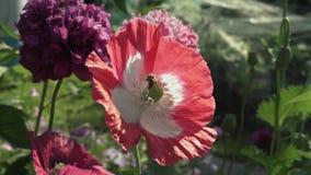 蜂收集在庭院鸦片股票英尺长度录影的花蜜 股票视频