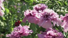 蜂收集在庭院鸦片股票英尺长度录影的花蜜 股票录像