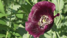 蜂收集在庭院鸦片股票英尺长度录影的花蜜 影视素材