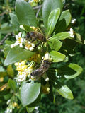 蜂收集在开花的树的花蜜 免版税库存图片