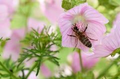 蜂收集在桃红色花的花粉 库存照片
