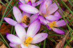 蜂收集在番红花的花蜜 图库摄影