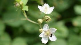 蜂收集在白色黑莓花的花蜜 股票视频