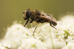 蜂收集在白花的花蜜 免版税库存照片