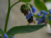 蜂收集在花的花蜜 库存照片