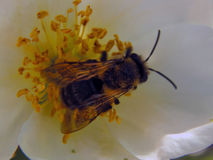 蜂收集在花的花蜜 库存图片