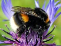 蜂收集在花的花蜜 图库摄影