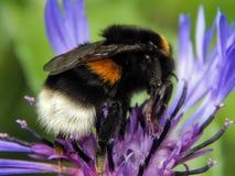 蜂收集在花的花蜜 免版税库存照片