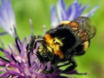 蜂收集在花的花蜜 免版税库存图片