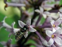 蜂收集在花的花蜜 免版税图库摄影
