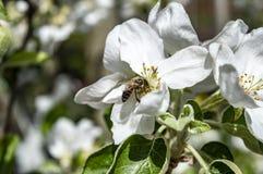 蜂收集在苹果开花特写镜头的花蜜 库存图片