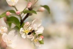 蜂收集在苹果开花的蜂蜜 库存图片