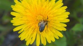 蜂收集在蒲公英的花粉 影视素材