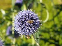 蜂收集在蓟的花粉 免版税图库摄影
