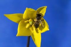 蜂收集在黄色郁金香的花蜜 免版税库存图片