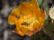 蜂收集花粉在开花的Pricky梨仙人掌在拉古纳海岸原野公园 库存照片