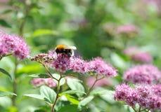 蜂收集花粉 免版税库存图片