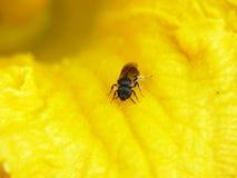 蜂收集花花粉 免版税库存照片
