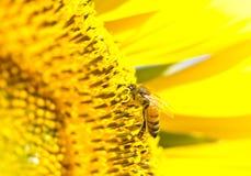 蜂收集花蜂蜜花蜜向日葵 库存照片