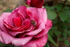 蜂收集花蜜和花粉在一朵开花的桃红色玫瑰花 免版税库存照片