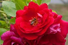 蜂收集花蜜和花粉在一朵开花的桃红色玫瑰花 免版税库存图片
