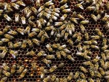 蜂收集花蜜和花粉 免版税图库摄影