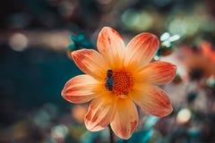 蜂收集花蜜在美丽的五颜六色的花大丽花 抽象背景 空间在拷贝的,文本,您的词背景中 免版税库存照片