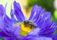 蜂收集花蜜在美丽的花翠菊 抽象背景 空间在拷贝的,文本,您的词背景中 库存图片
