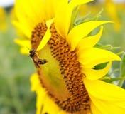 蜂收集花蜜并且授粉向日葵 免版税库存图片