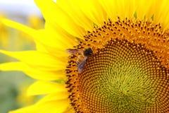 蜂收集花蜜并且授粉向日葵 免版税库存照片