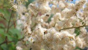 蜂收集花蜜并且授粉在树枝的花 r t 春天庭院花在树开花
