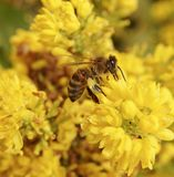 蜂收集花蜜特写镜头 库存照片