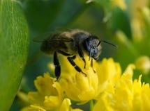 蜂收集花蜜特写镜头 库存图片