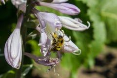 蜂收集花蜜 在花的一只蜂 免版税图库摄影
