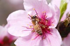 蜂收集花蜜 库存照片