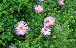 蜂收集花蜜 图库摄影
