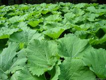 蜂斗菜(类Petasites),在河岸增长的一棵植物的图象,在温带 免版税库存照片