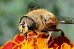 蜂昆虫 库存图片