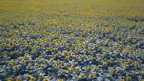 蜂明亮的中心花晚夏星期日向日葵黄色 影视素材