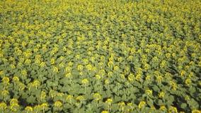 蜂明亮的中心花晚夏星期日向日葵黄色