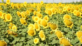 蜂明亮的中心花晚夏星期日向日葵黄色 股票视频