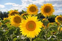 蜂明亮的中心花晚夏星期日向日葵黄色 夏天背景 库存照片