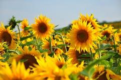 蜂明亮的中心花晚夏星期日向日葵黄色 图库摄影