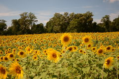 蜂明亮的中心花晚夏星期日向日葵黄色 免版税图库摄影