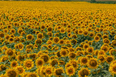 蜂明亮的中心花晚夏星期日向日葵黄色 库存图片