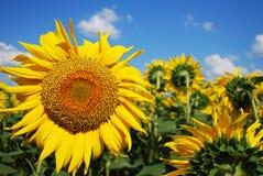 蜂明亮的中心花晚夏星期日向日葵黄色 免版税库存照片