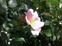 蜂是花的一个辛苦工作者 野生玫瑰桃红色花  一朵野生玫瑰的精美瓣 黄色雄芯花蕊 ?? 免版税库存照片