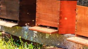 蜂是飞行昆虫密切相关对黄蜂和蚂蚁,已知为他们的在授粉的作用 免版税库存照片